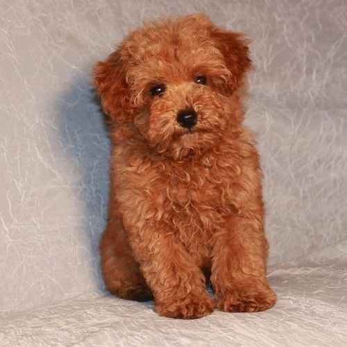 Baby Teacup Poodle Brown Animals Pets Home Decor Wall Art