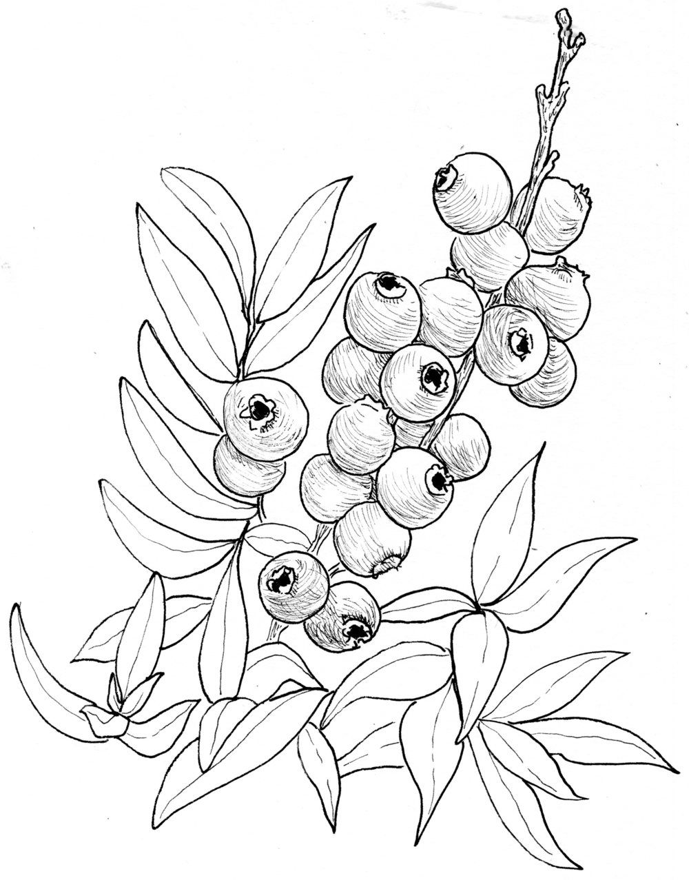 Blueberry Low Bush Fruits Drawing Plant Sketches
