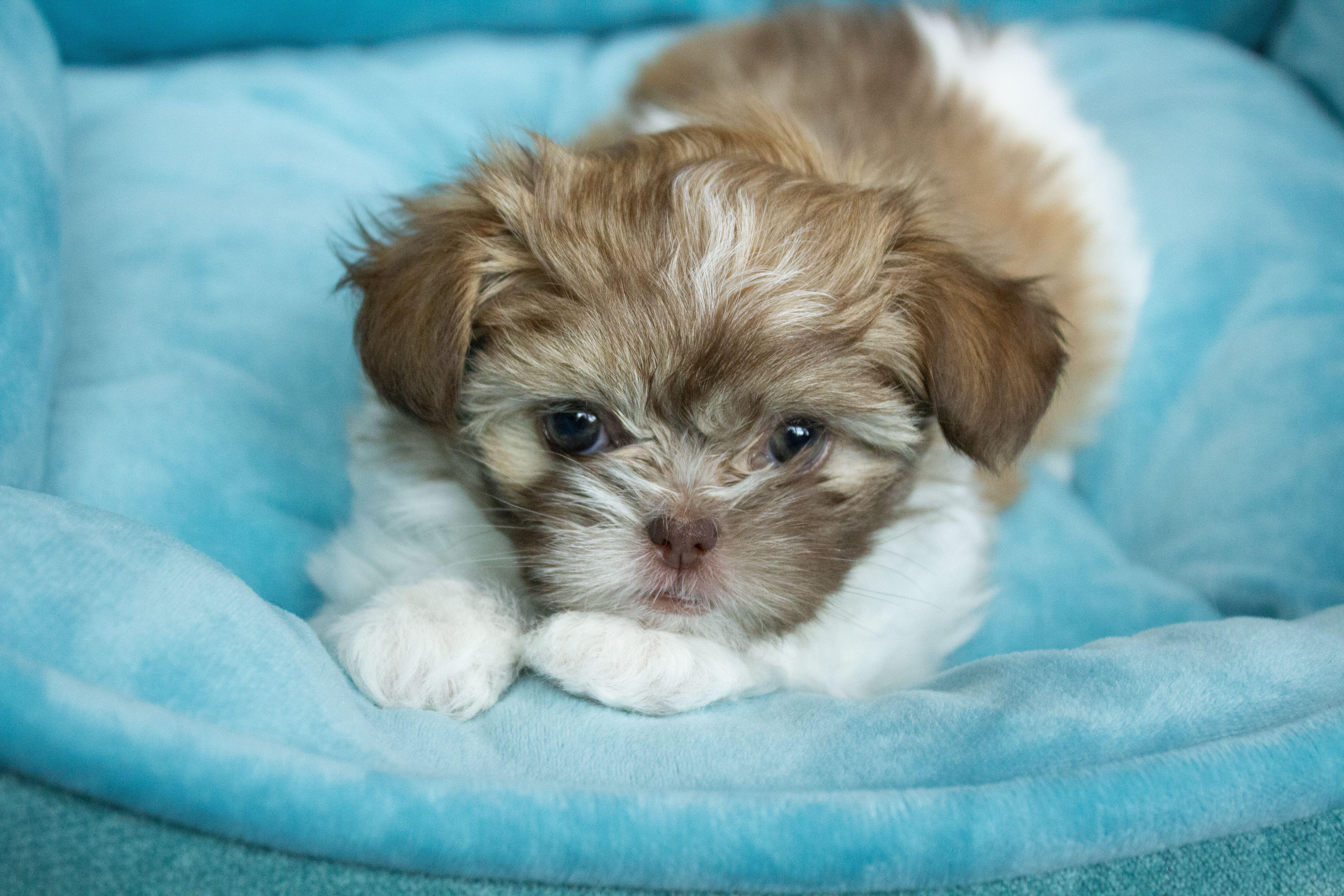 Chocolate Rare Gem Mi Ki Puppy Puppies For Sale Puppies Rare Gems