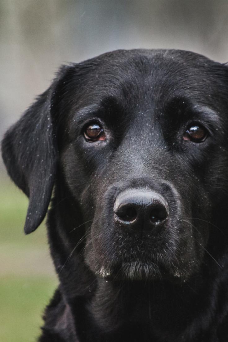 Labrador Retriever Labradorretriever Black Labrador Dog Labrador Dog Black Labrador Retriever