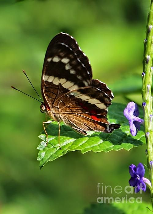 """Butterfly on the Edge"" by Carol Groenen  #butterfly #butterflies #nature #carolgroenennature  carol-groenen.artistwebsites.com"