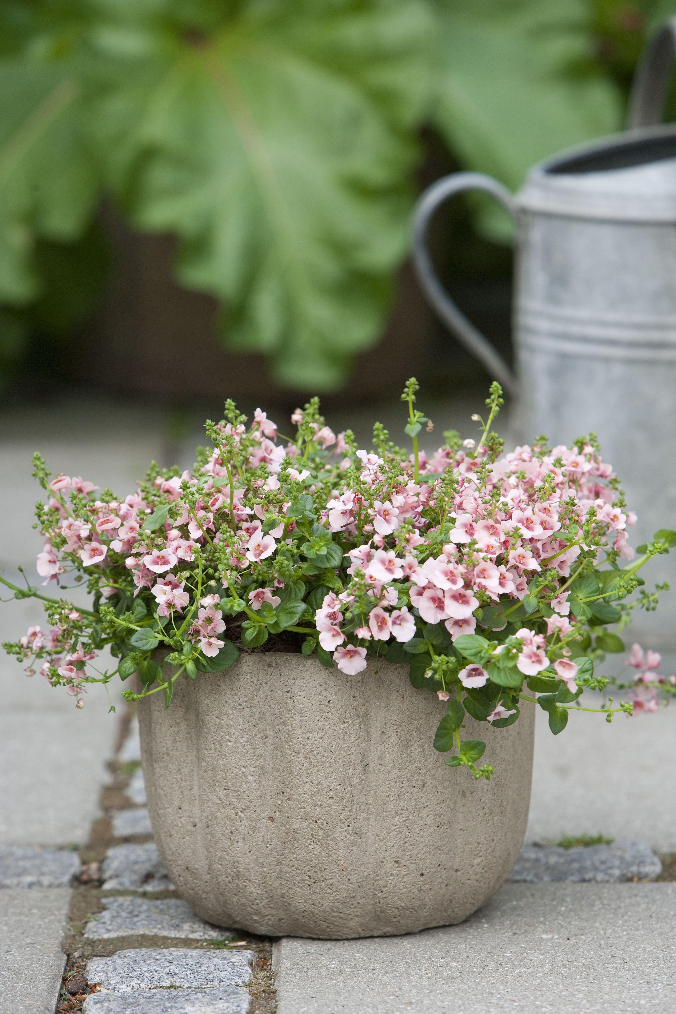 Diascia Barberae By Floradania Grow A Garden Pink Pinterest