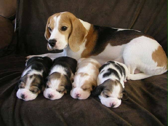 Awwww Cute Beagle With Four Newborn Pups Source Http Ift Tt