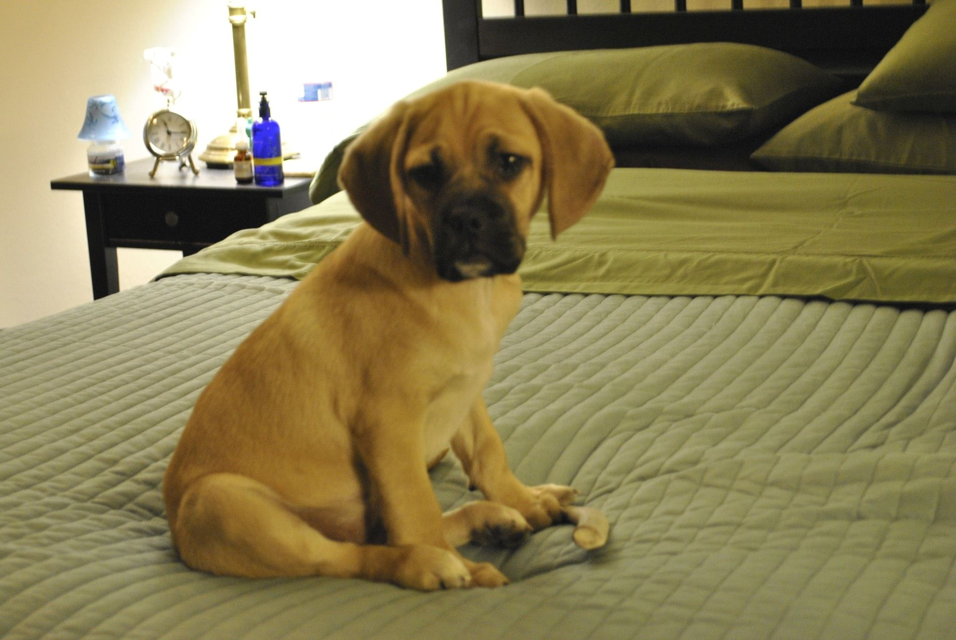 Once You Have A Puggle You Never Go Back Our S Is Named Peugeot