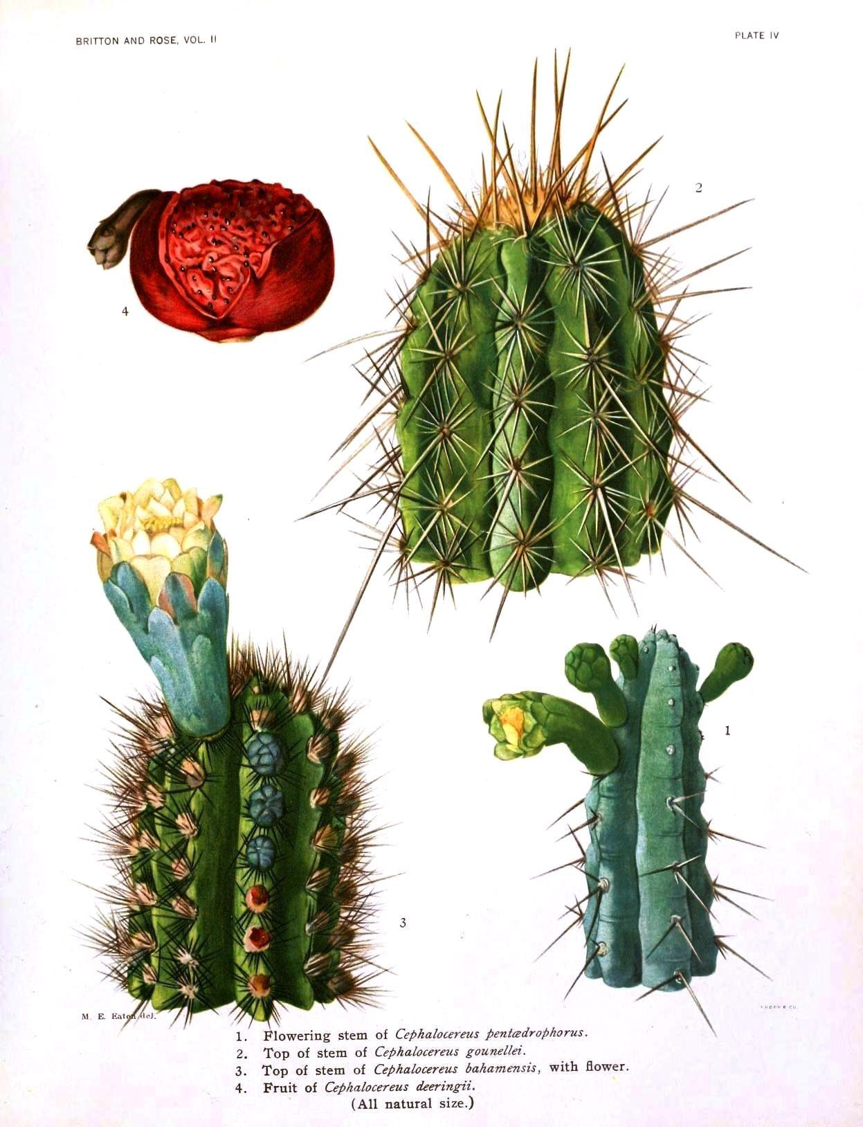 Botanical cactus 3