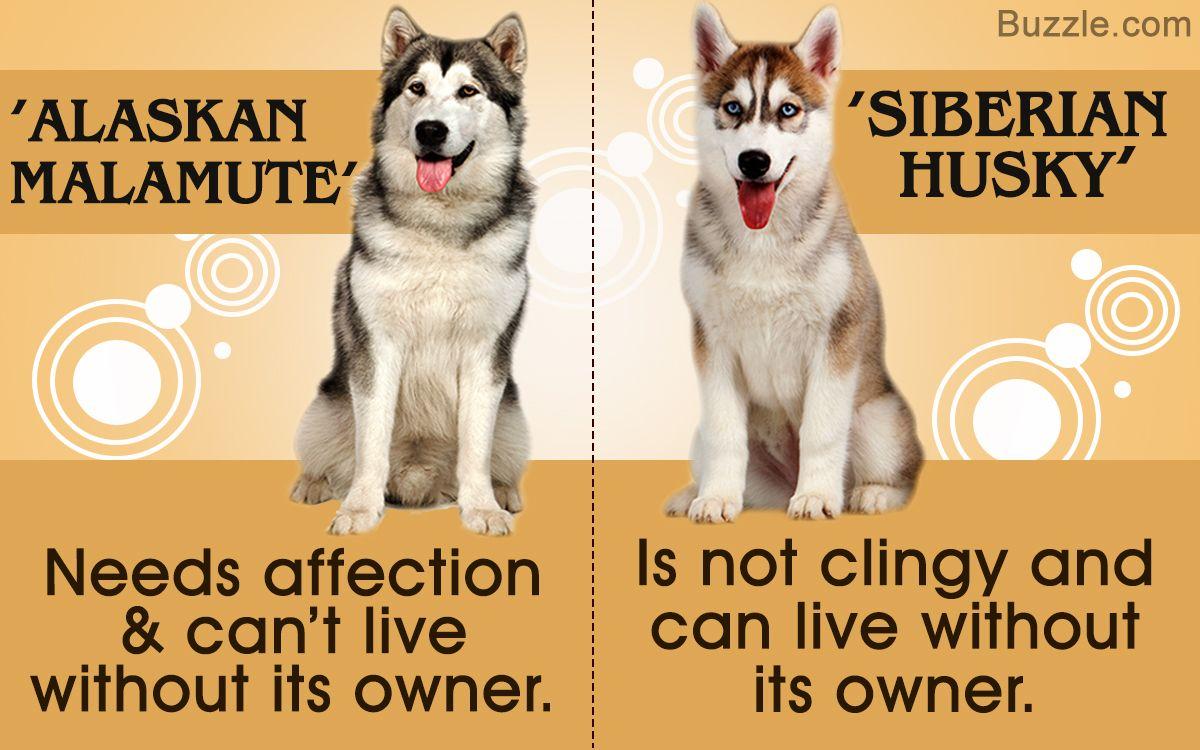 Alaskan Malamute Vs Siberian Husky Which Dog Makes A Better Pet