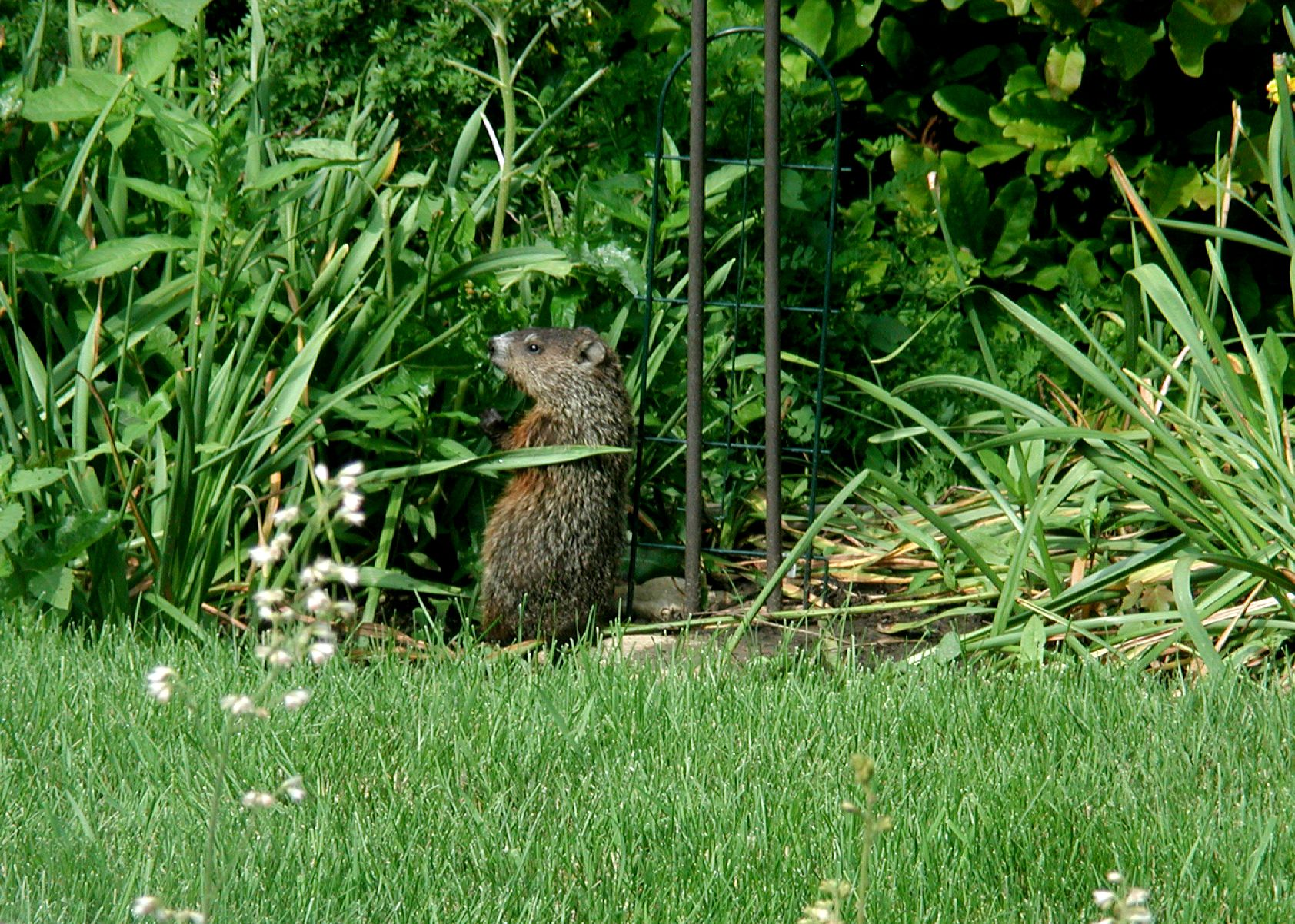 woodchuck ground hog pinterest ground hog