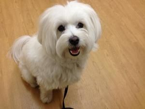 Adopt Toby On Maltese Dogs Dog Adoption Maltese Mix