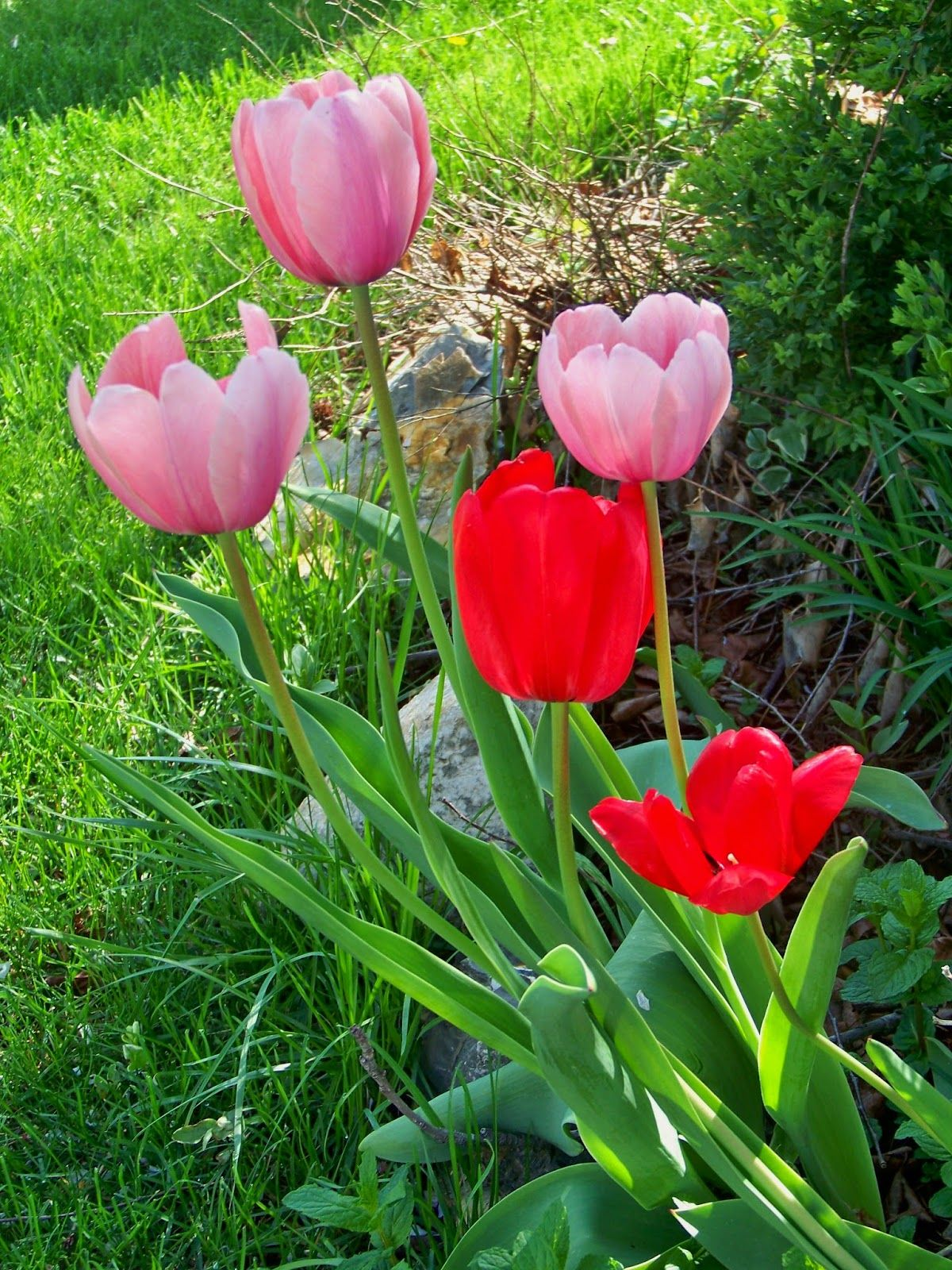 Beautiful Tulips Flowers Pinterest Flowers