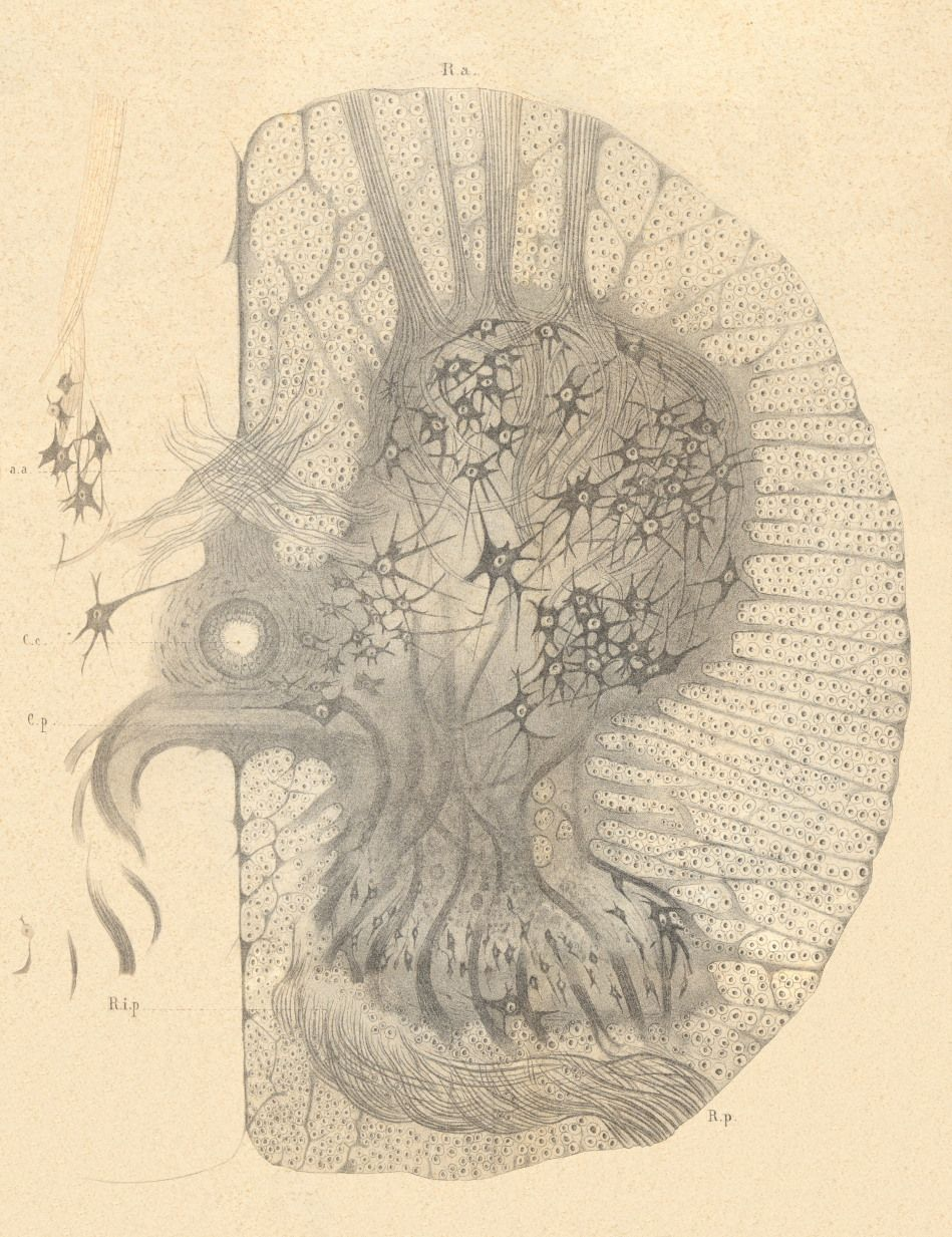 GALLERY: Images from Cajal\'s Butterflies of the Soul : The Beautiful ...