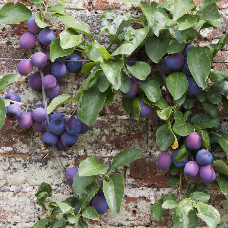The Best Fruit Trees For Small Gardens A Guide To Dwarf Fruit Trees Fruit Trees Espalier Fruit Trees Dwarf Fruit Trees