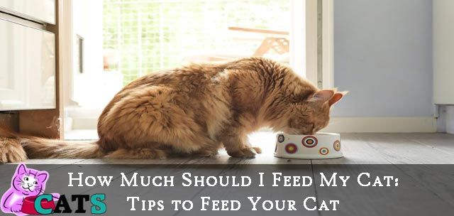 How Much Should I Feed My Cat Tips to Feed Your Cat
