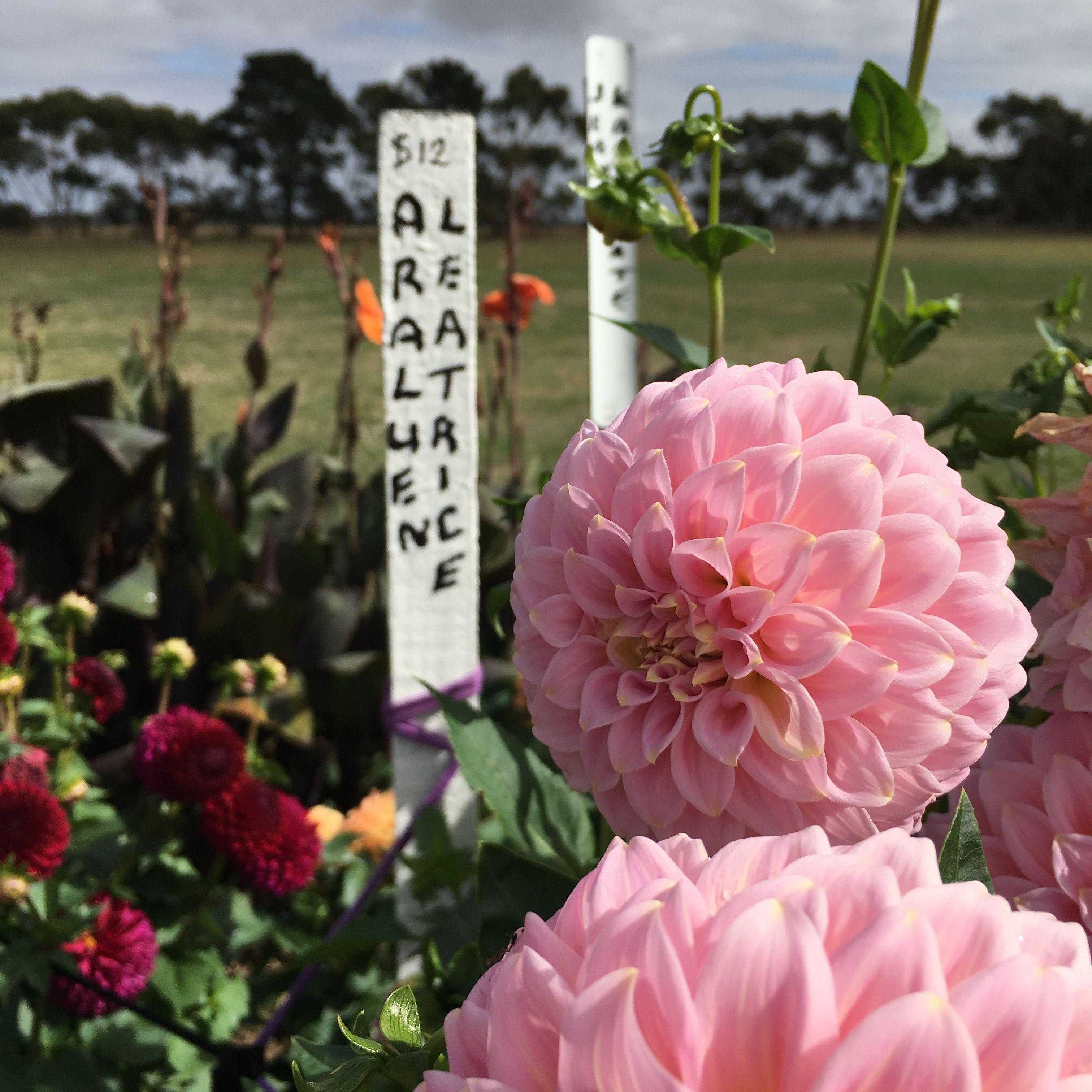small decorative dahlia 'araluen leatrice' | country dahlias ...