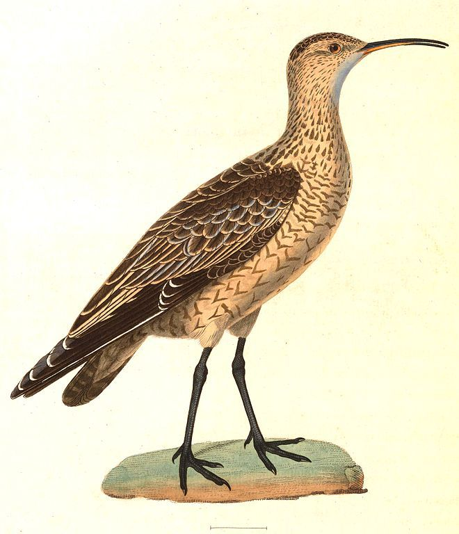 The Eskimo Curlew (Numenius borealis) is possibly extinct. The last sighting was in 2006, but there have been no reliable sightings from its wintering grounds, in South America, since 1939. The Eskimo Curlew was once one of the most abundant shorebirds in the world, but was driven to the edge of extinction by extreme overhunting. The bird breeds in Northern Canada and winters in South America.  (Wikimedia Commons)
