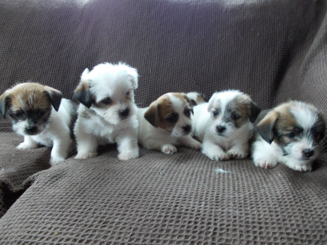 Adorable Lhasa Apso X Jack Russell Puppies Jack Russell Puppies
