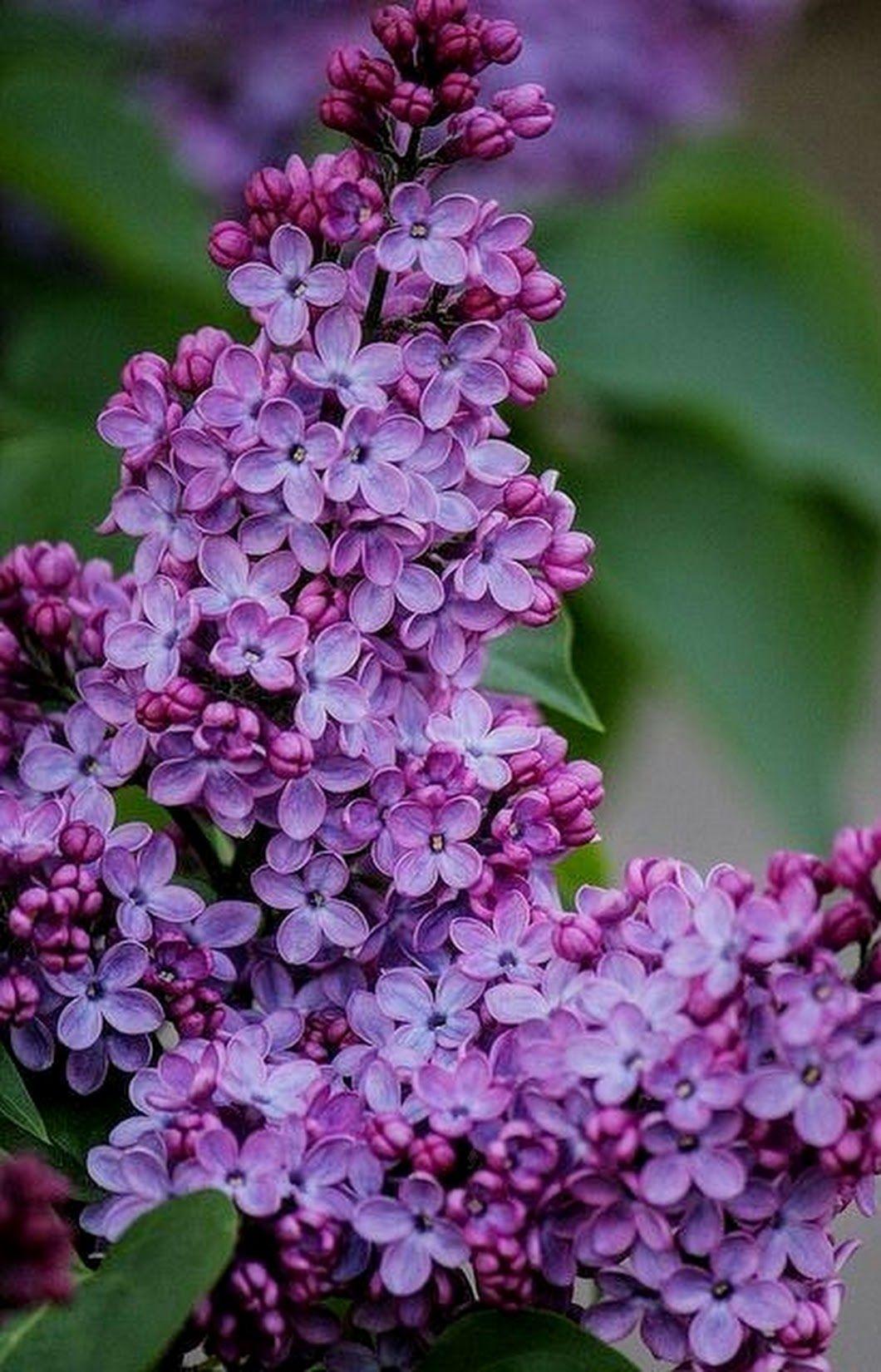 Photo Close Up Beautiful Flowers Lilac Tree Purple Flowers