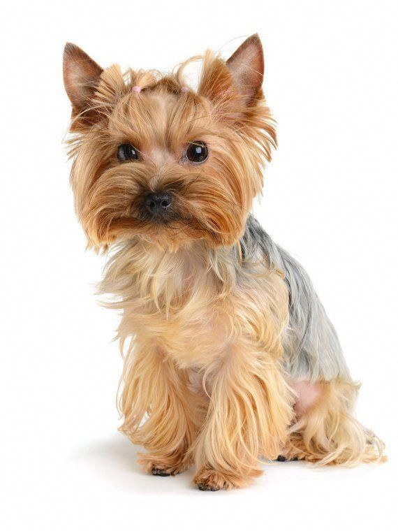 Discover more info on Yorkshire Terriers. Take a look at