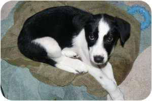 Border Collie Husky Mix Puppy For Adoption In Marlton New Jersey