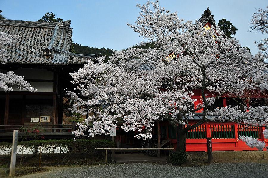 毘沙門堂 桜 - よそさんが綴る 京都ひとコマ旅日記