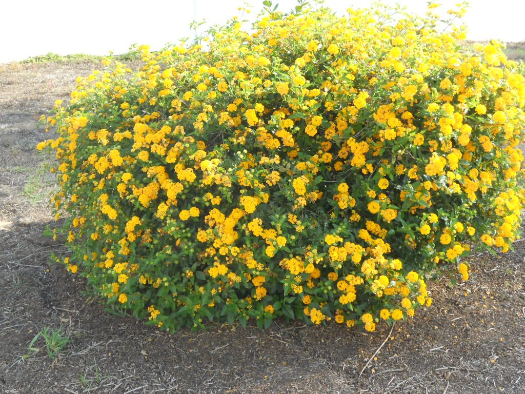 Yellow Flower Bush Landscape Pinterest Flowering Bushes