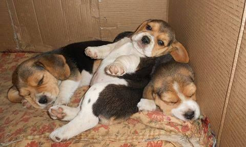 Pin By Beagle Planet On Beagle Puppies Dogs Beagle Baby Beagle