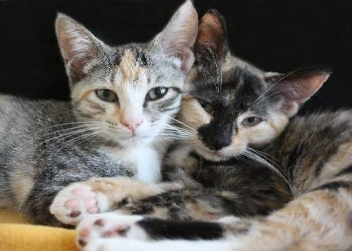 Male Calico Cats Calico Goldie And Olympia Medium Baby Male Cat In Rochester Cute Cats Cute Animals Calico Cat