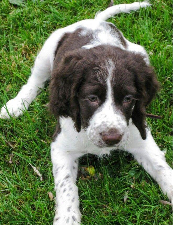 Puppy Epagneul Francais | English Springer Spaniel | Springer