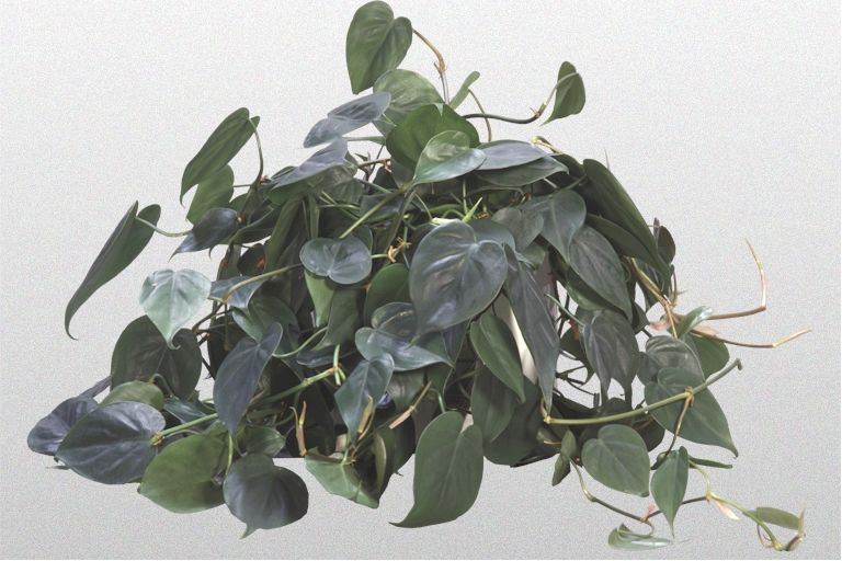 A Heart Leaf Or Sweetheart Philodendron Has Dark Green