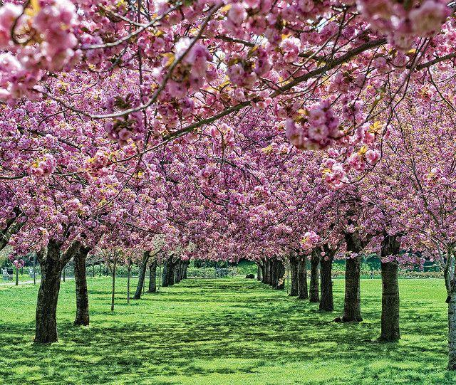 Cherry Esplanade Brooklyn Botanic Garden Brooklyn Botanical Garden Botanical Gardens Most Beautiful Flowers
