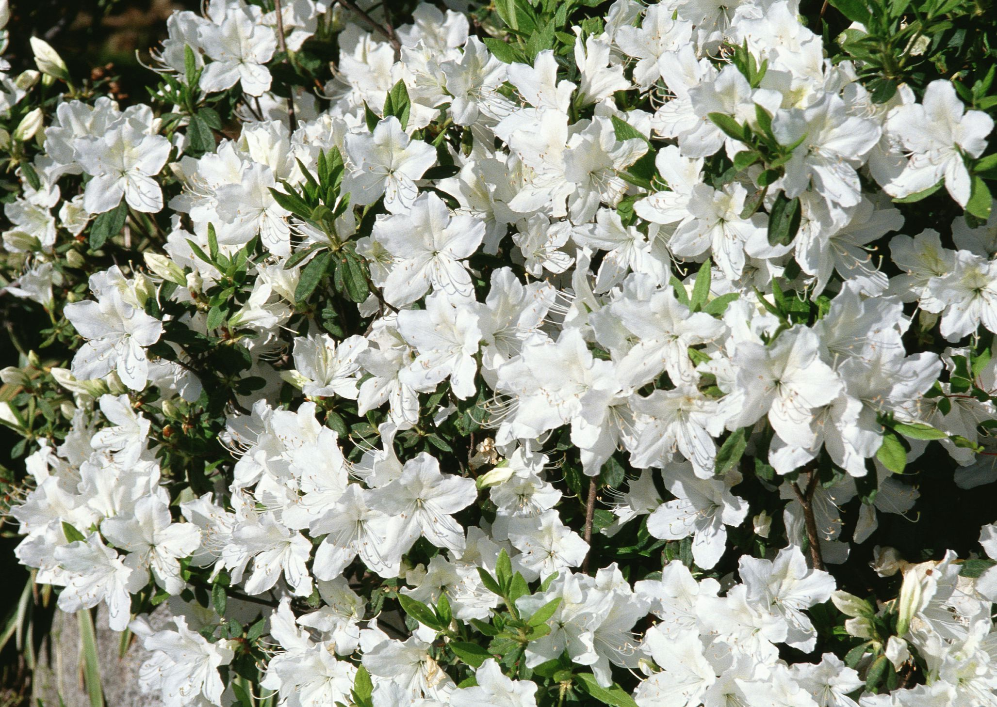10 Best Shrubs With White Flowers Shrub White Flowers And Flowers