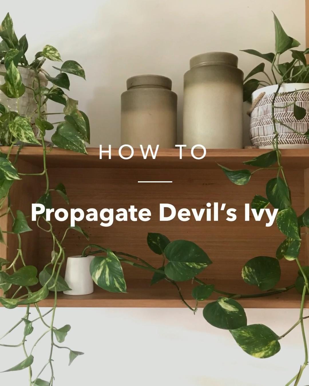 Propagate Devil's Ivy