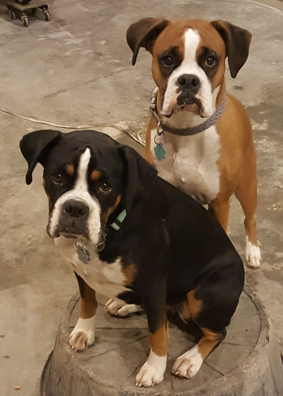Bella And Calliope Boxer Dogs Puppies Dogs