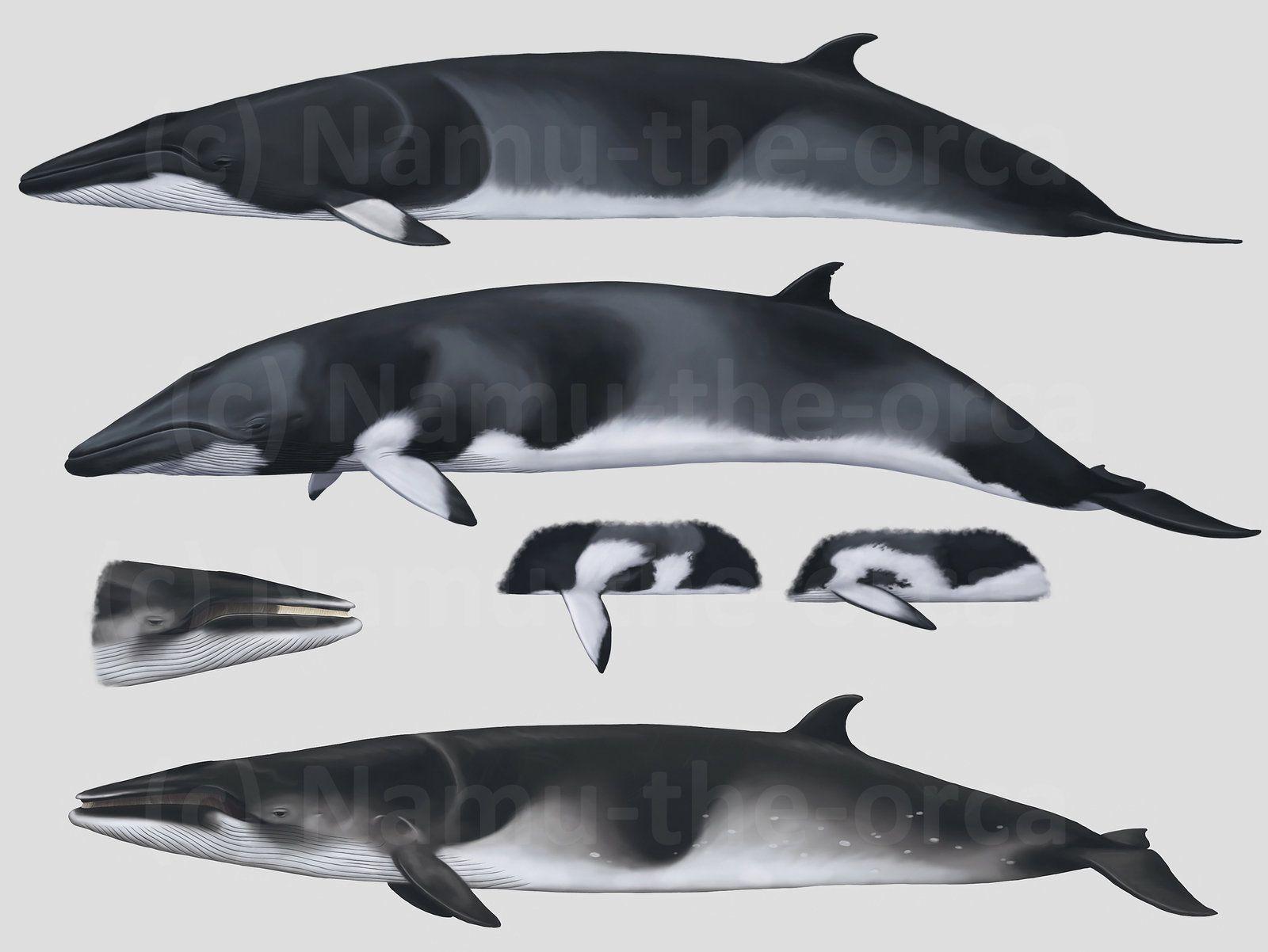 CETACEANS 3 - Minke whales by namu-the-orca on DeviantArt
