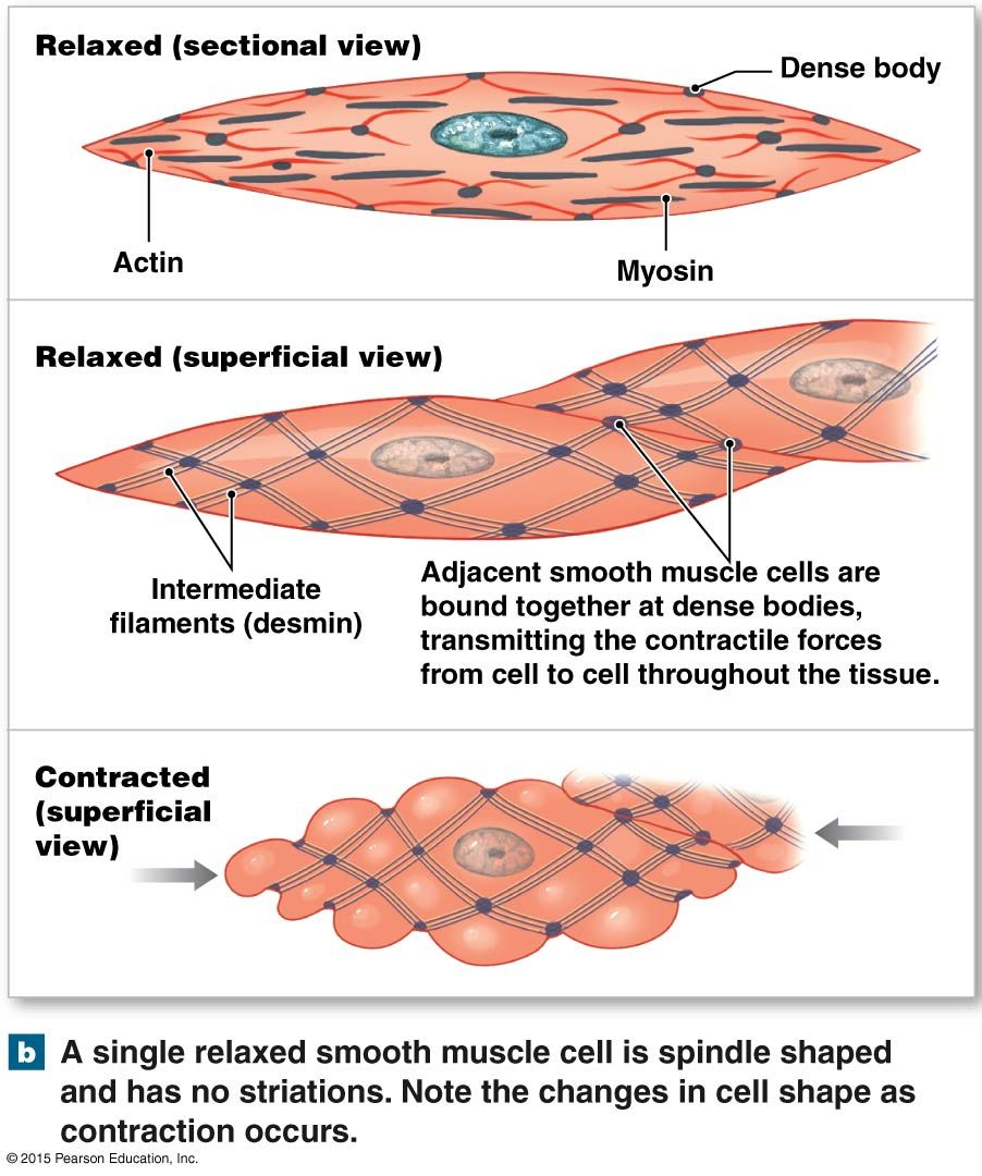 smooth muscle tissue | anatomy and physiology diagrams | pinterest