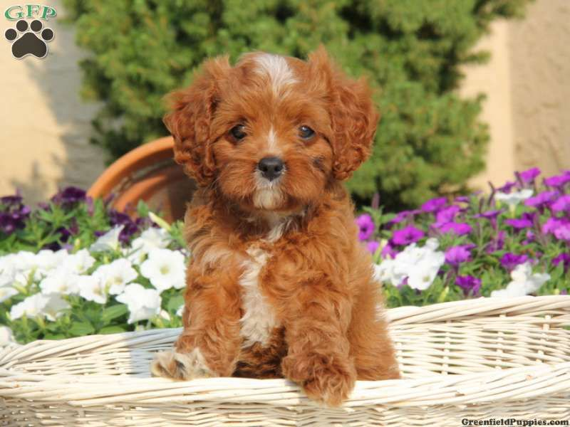 Delilahs Sister Chloe Cavapoo Puppy For Sale From Leola Pa Cavapoo Puppies For Sale Greenfield Puppies Cavapoo Puppies