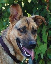Annabelle Is An Adoptable German Shepherd Dog Dog In Kansas City