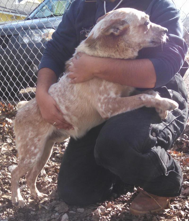 Meet homer a petfinder adoptable australian cattle dog