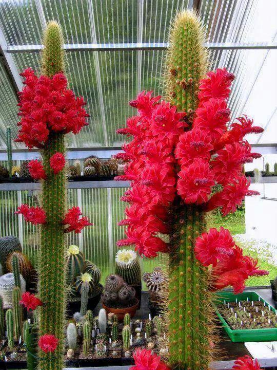 Preciosas flores de cactus