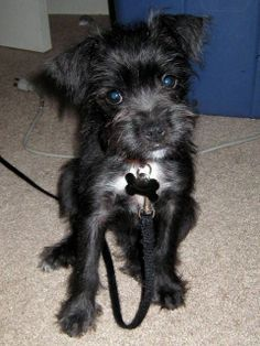Scotchi Scottish Terrier Chihuahua Mix Info And Pictures Chihuahua Mix Puppies Schnauzer Mix Pitbull Terrier