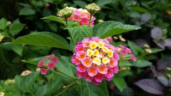 How To Grow Lantana Gardening Channel Butterfly Garden Plants Lantana Plant Lantana