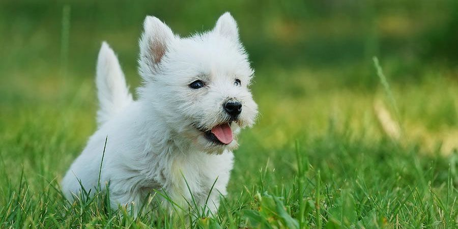 West Highland White Terrier Price Temperament Life Span