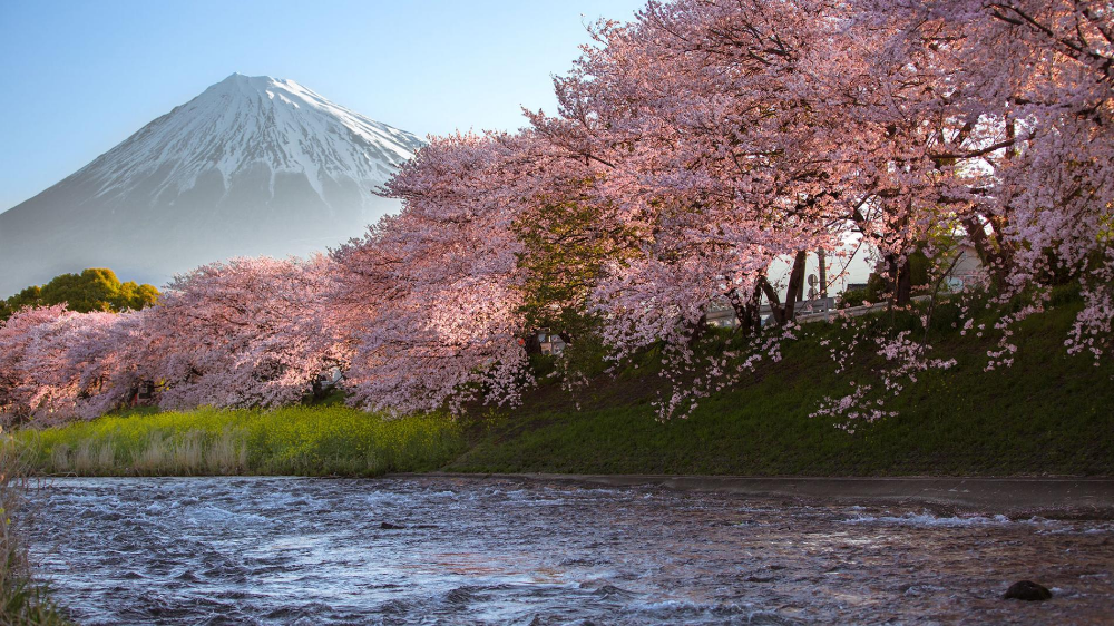 10 Beautiful Flower Destinations Around The World In 2021 Cherry Blossom Spring Scenery Sakura Tree