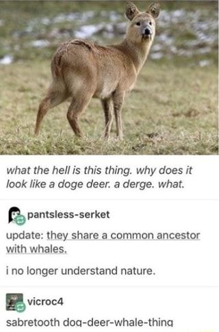 What the hell is this thing. why does it look like a doge deer. a derge. what. update: they share a common ancestor with whales, ino longer understand nature. sabretooth doa-deer-whale-thina - iFunny :)