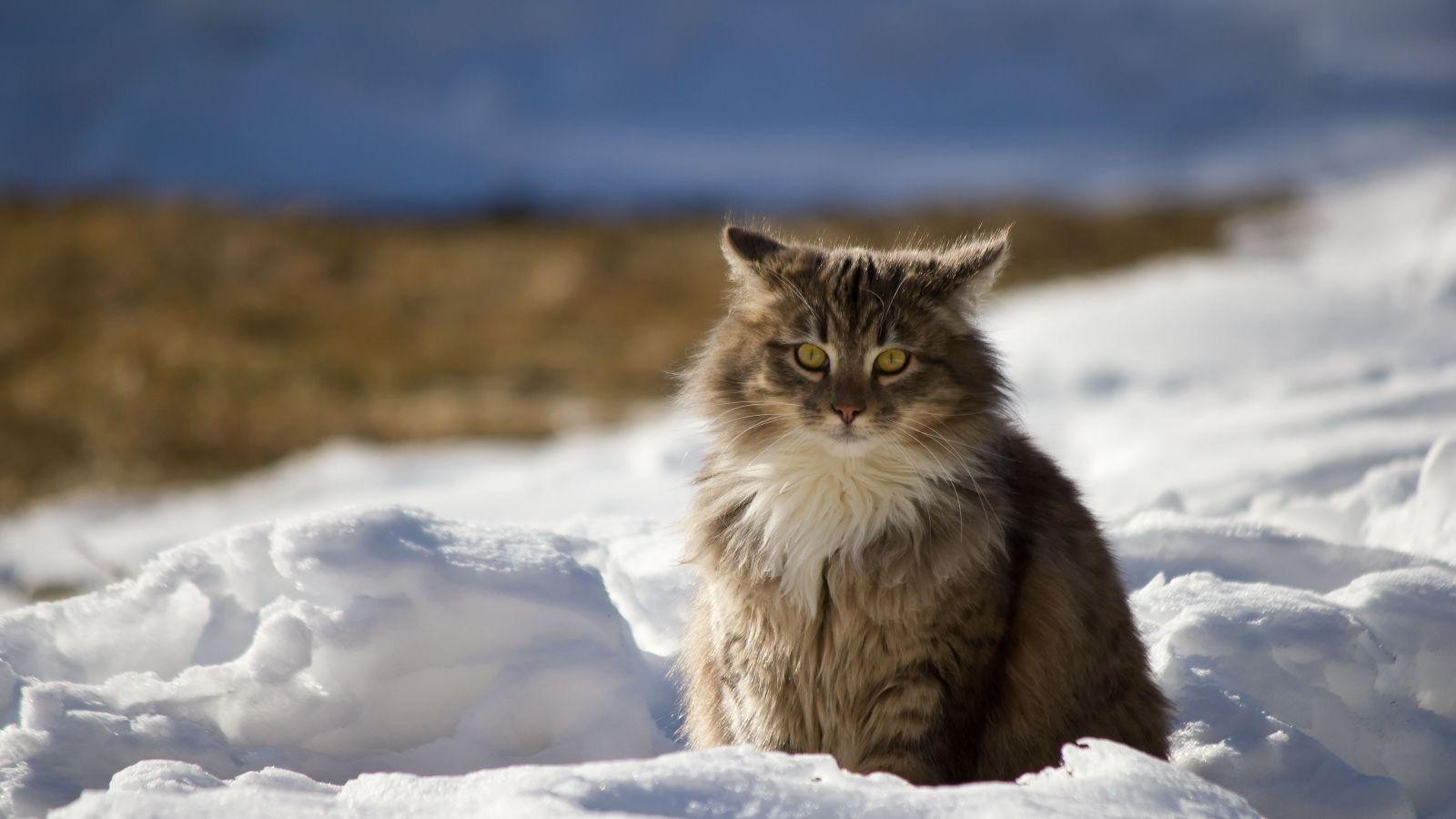 Download Wallpaper 1600x900 Cat, Winter, Fluffy, Snow