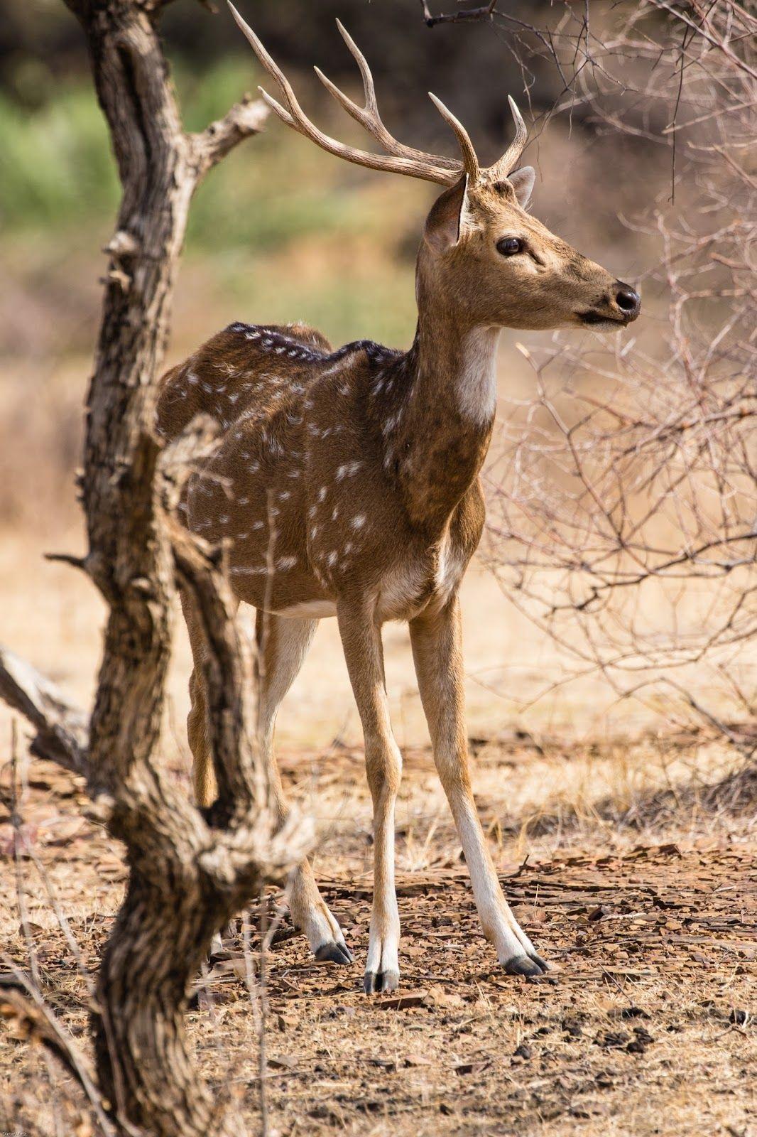 Picture of an Indian axis deer Deer species, Animals