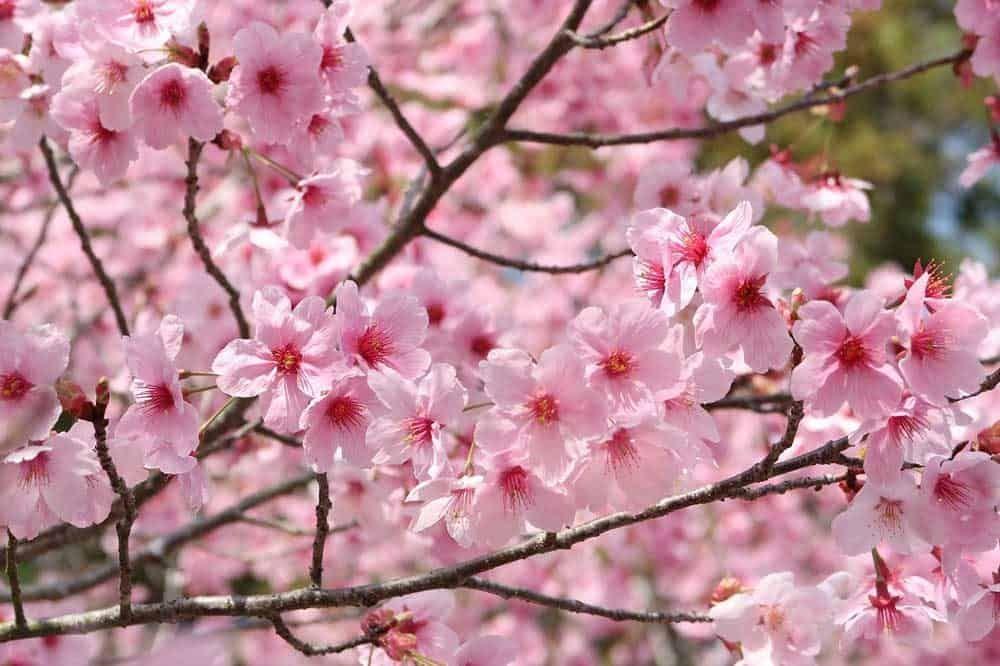 Here Are 10 Must Visit Spots In Osaka Japan Osaka Japan Osakajapan Osakatravel Osakatr In 2020 Cherry Blossom Japan Cherry Blossom Wallpaper Beautiful Landscapes