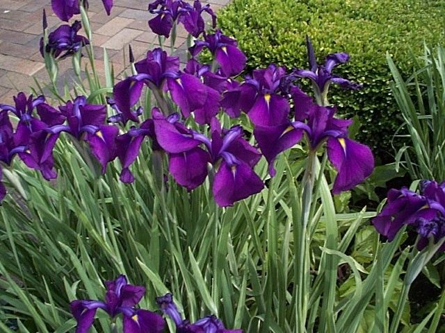 Online Plant Guide Iris Sibirica Siberian Iris Plants Flower Garden Garden Of Earthly Delights