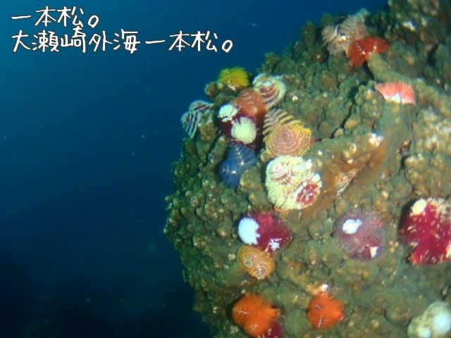 Christmas tree worm OOSEZAKI IZU Japan Under water Pinterest Izu