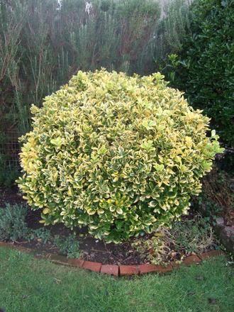 Emerald 39 n 39 gold euonymus shrub an evergreen most often for Tall evergreen shrubs