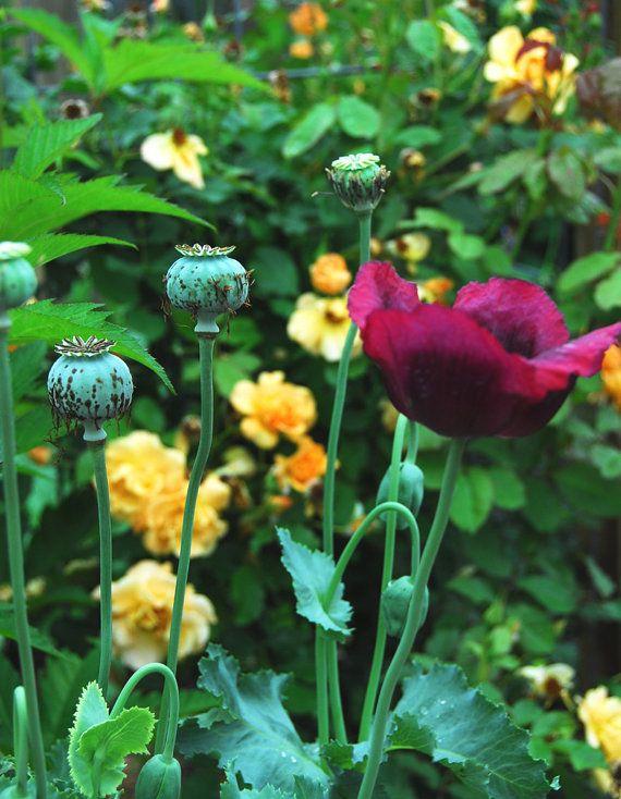 Poppy seed heirloom poppies papaver somniferum seeds mixed colors poppy seeds papaver somniferum wildflower by mountainlilyfarm mightylinksfo